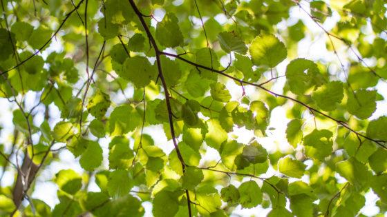 Vihreät koivunlehdet